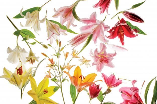 Garden Design - Gilding Lilies 01A