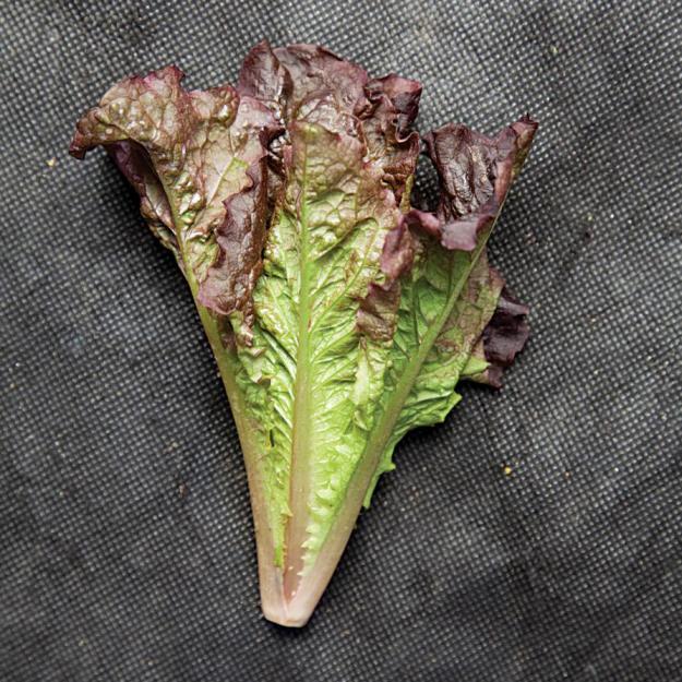 Firecracker lettuce