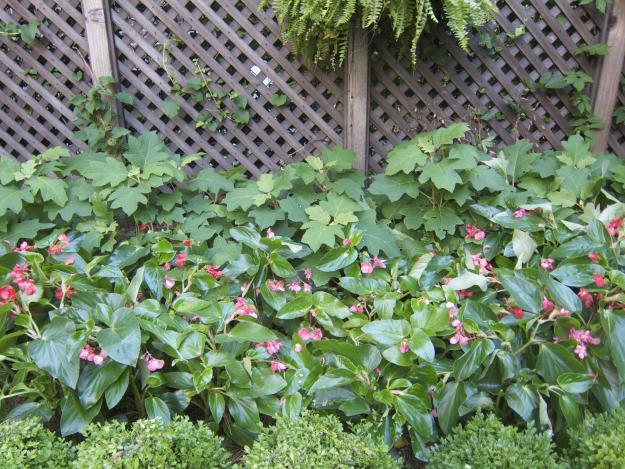 hydrangeas begonias
