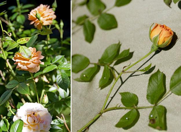 roses sunprint