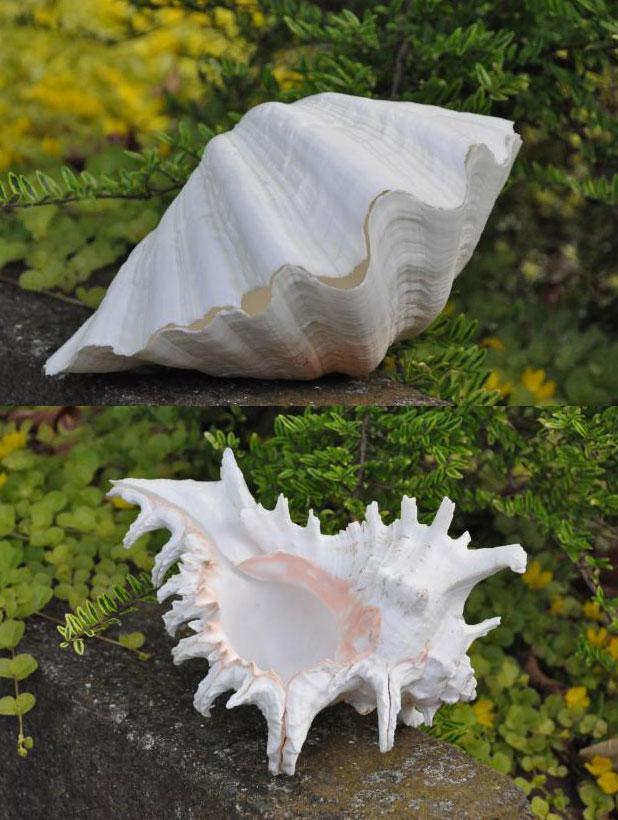 clam shell murex ramosus