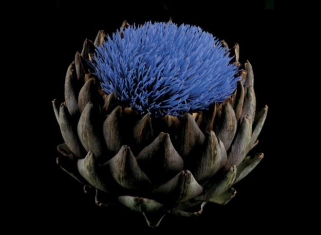 Globe artichoke (Cynara scolymus)