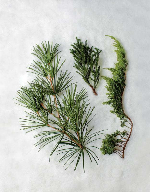 Conifer umbrella pine, cedar, juniper