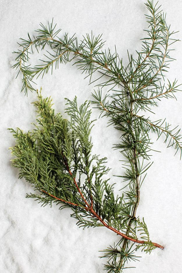 sawara cypress deodar cedar tree