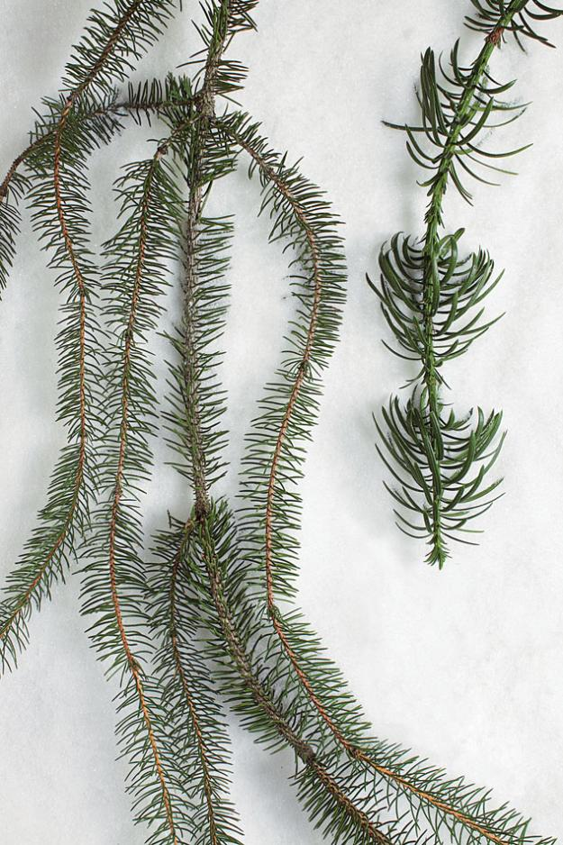snake branch spruce and spiral plum yew