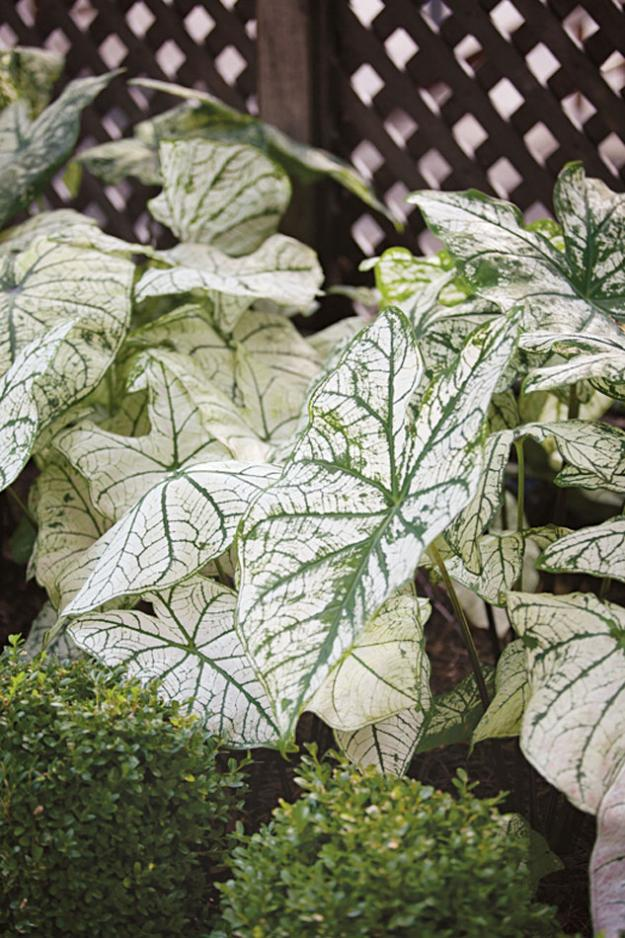 white variegated caladium