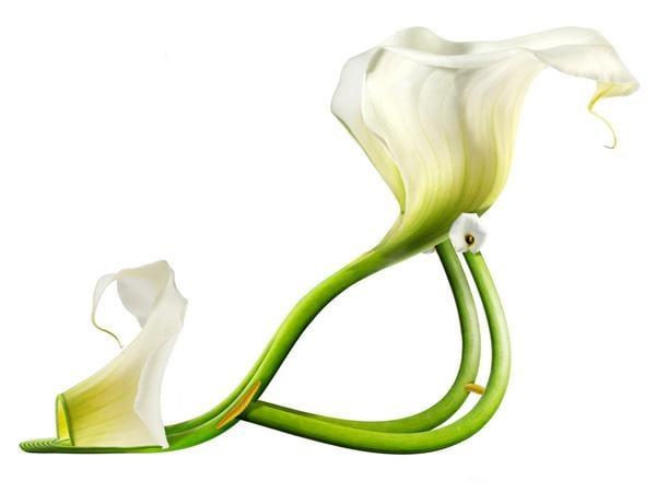 Lily White / Calla Lily