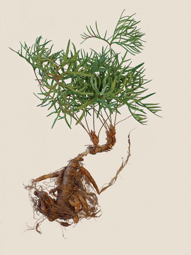 pelargonium-caffrum