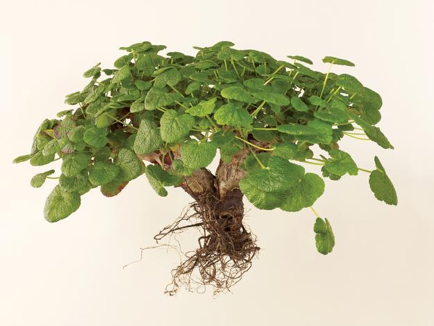 pelargonium-cotyledonis