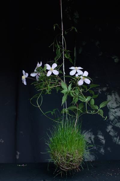Anemone clematis (Clematis montana)