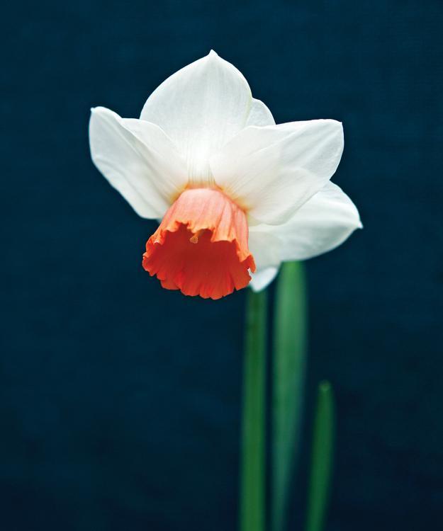 'Cool Flame' daffodil