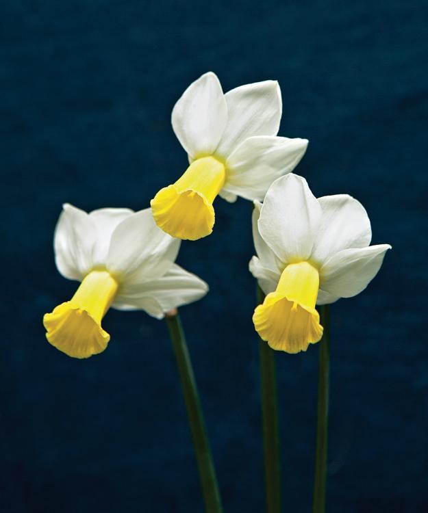 'Creed' daffodil