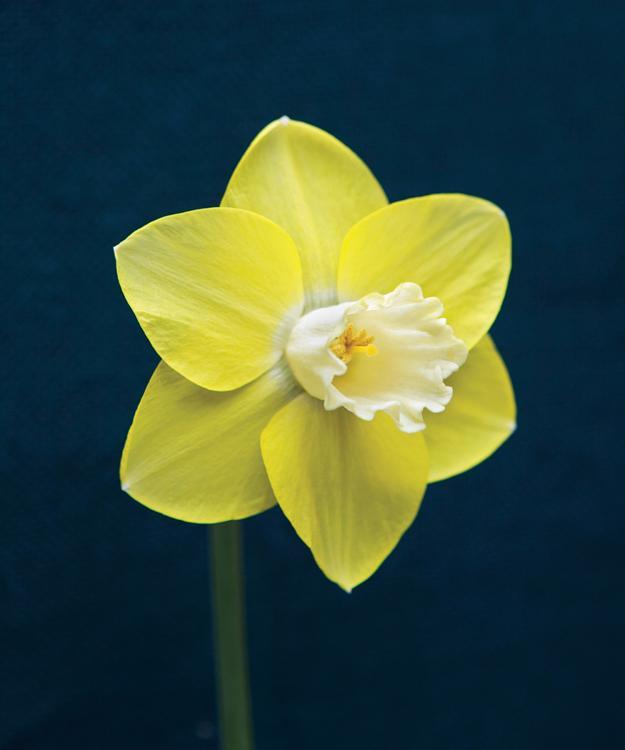 'Young American' daffodil