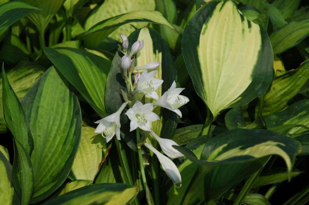 Shade Loving Hostas