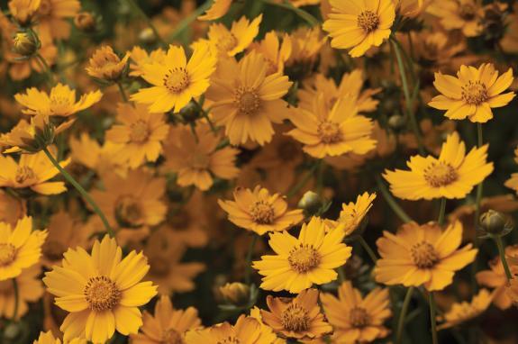 Coreopsis - Native Prairie Plant