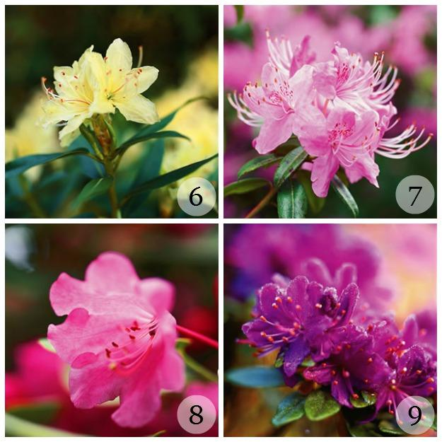Types of Rhododendron