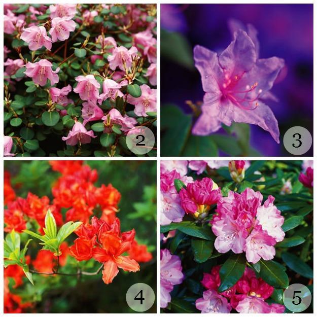 Wild Rhododendron Varieties