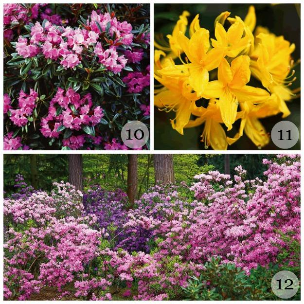 Rhododendrons in Washington