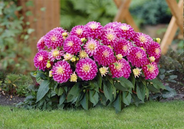 Beautiful Compact Dahlias Garden Design