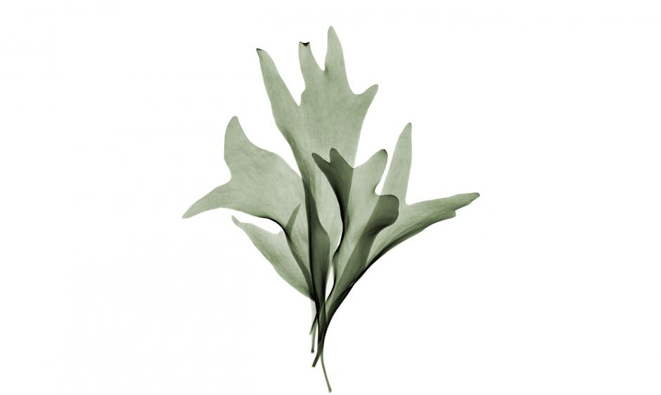 Garden Design - Staghorn Fern
