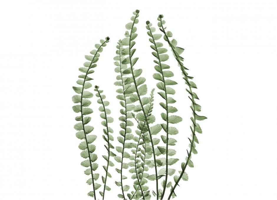 Garden Design - Lemon Button Fern