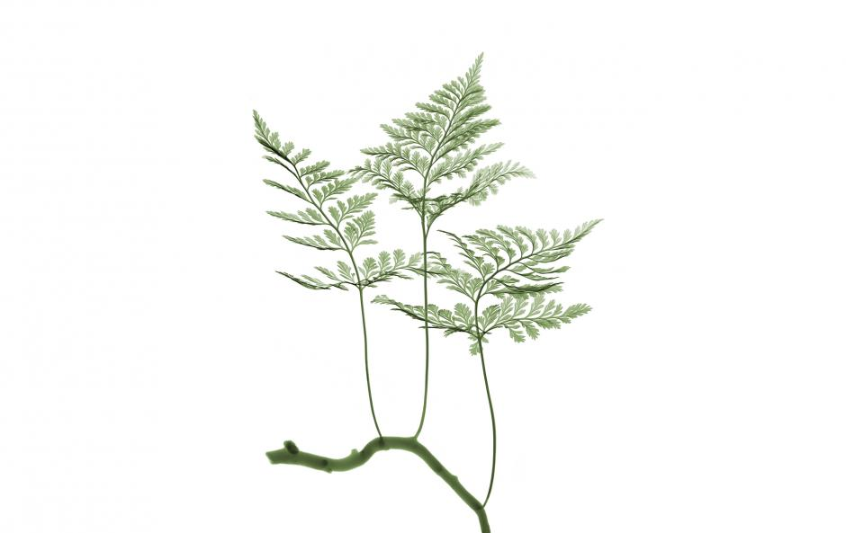 Garden Design - Rabbit's Foot Fern