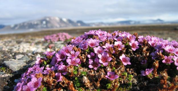 Botanic Superlative: The Coldest Climate Wildflower
