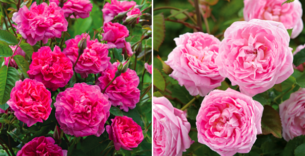Two New David Austin Roses for 2013
