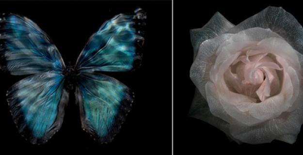 Art & Botany: Translucent Roses & Underwater Butterflies