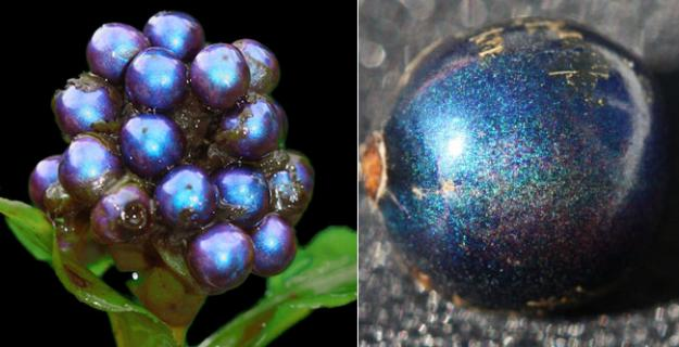 Botanic Superlatives: Brightest Berry Joins Glitterati of the Natural World