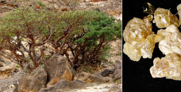 Frankincense & The Magi's Endangered Tree