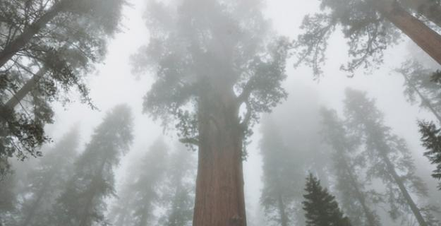 Old Trees & New Growth in Sequoia National Forest