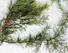 Our Guide to Conifers