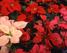 Botanic Notables: The Poinsettia