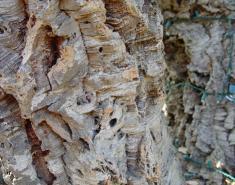Botanic Notables: Quintessentially Mediterranean Quercus
