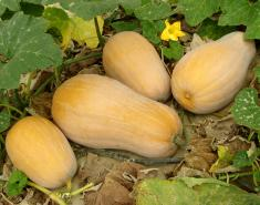 Giving Thanks for Winter Squash