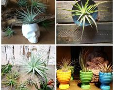 Plant Pointers: How Not to Error with Your Air Plant