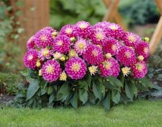 Border Beauties: New Compact Dahlias Explode with Color