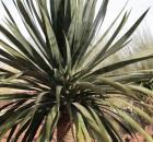 a-Dragon-Tree-Dracaena-draco_Credit-Renee-Immel