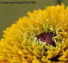 radiance black eyed susan from Ball