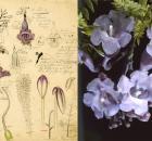 Jacaranda Sketch / Flower
