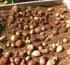 growing potatoes 8