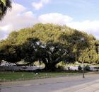 Moreton Bay Ficus
