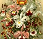 Haeckel orchids