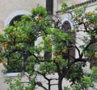 orange tree Morocco