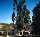 Saint Francis Cypress