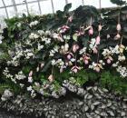 Phalaenopsis / Showy Medinilla