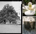 Jackson magnolia