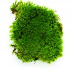 Rock Cap Moss