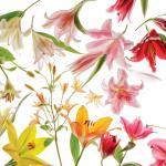 Garden Design - Gilding Lilies 01